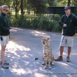 Random image: 2007/06/22 - Cheetah