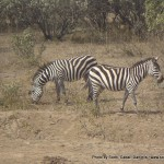 Random image: 2009/08/23 - Zebra