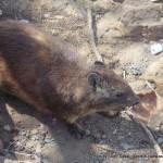Random image: 2009/08/23 - Rock Dassie