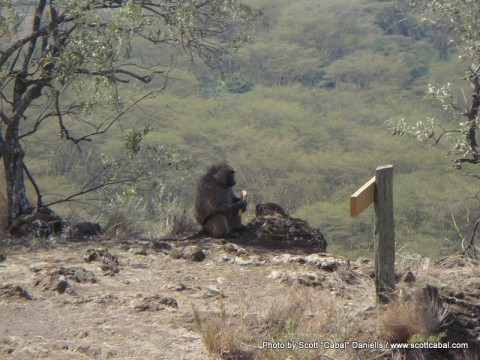 Baboon stealing food at Nakuru NP