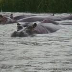 Random image: 2009/08/28 - Hippo