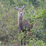 Random image: 2009/08/28 - Waterbuck