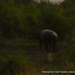 Random image: 2009/08/29 - Hippo on land