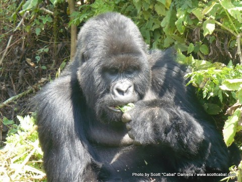 A Gorilla having lunch