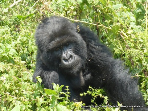 A Gorilla being as curious about us as we were about them