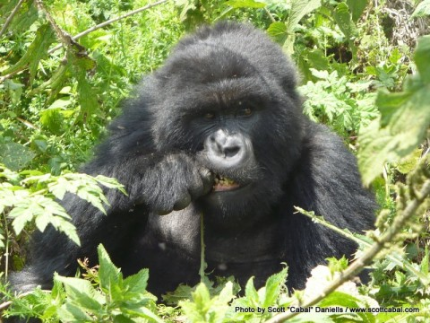 Another Gorilla having lunch