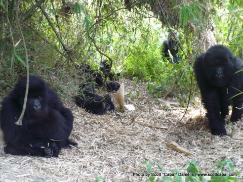 We found the main family group in the Amahor Gorillas