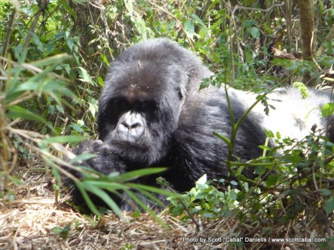 The Silverback watching us