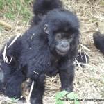Random image: 2009/08/31 - Baby Gorilla