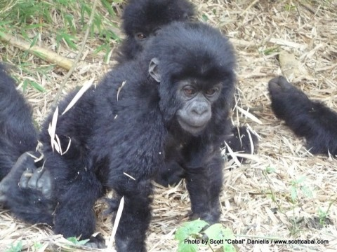 Another photo of the baby Gorilla