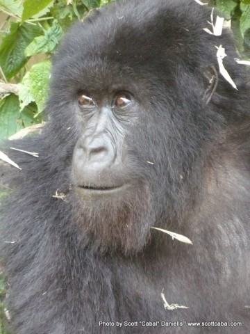 A close up view of a Gorilla