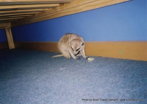 Meerkat feast