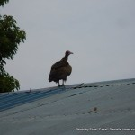 Random image: 2009/09/01 - Another vulture