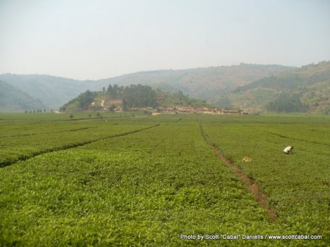 Rwandan Tea Plantations