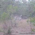 Random image: 2009/09/03 - Zebra