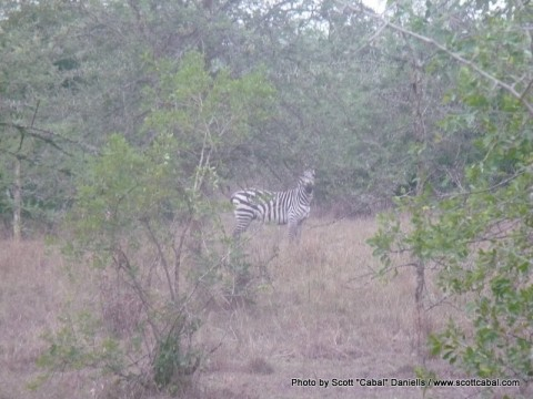 This Zebra hissed at me then ran away