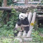 Random image: 2010/10/17 - Giant Panda
