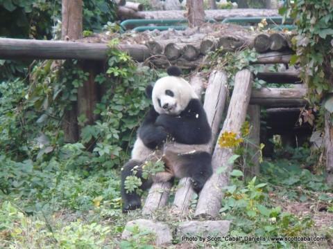 A Giant Panda at Beijing Zoo