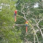 Random image: 2012/01/31 - Parrots at Copan