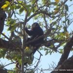 Random image: 2012/02/07 - Howler Monkey