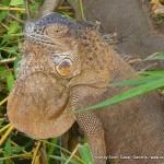 Random image: 2012/02/12 - Iguanas