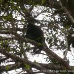 Random image: 2012/02/12 - Howler Monkey