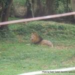 Random image: 2012/02/29 - Lions