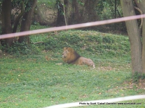 A Lion at the zoo in Entebbe