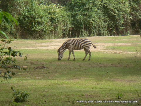 A Zebra in Entebbe