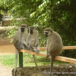 Random image: 2012/02/29 - Monkeys